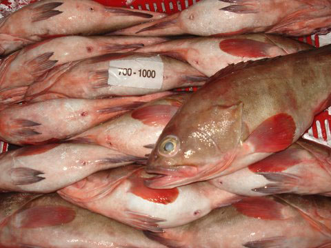 red-grouper-image