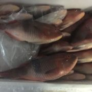 red-parrot-fish